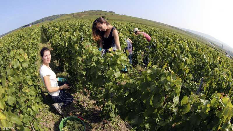 عمال وعاملات يشاركون في موسم جني ثمار العنب.