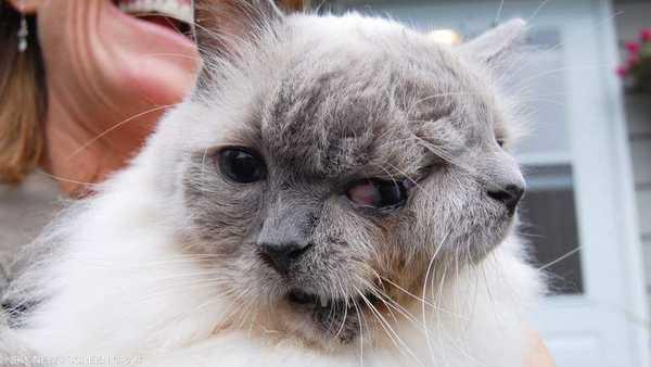قط بوجهين , قطط , قطة , قطة معمرة , قطة بوجهين