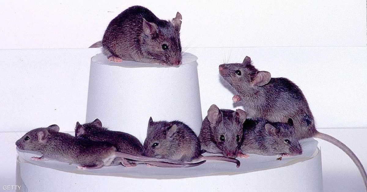 أغاني العشق.. وسيلة ذكور الفئران لجذب الإناث