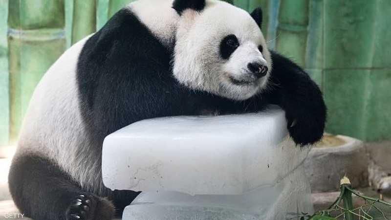 باندا في الصين حصل على لوح جليد ليخفف عنه وطأة القيظ