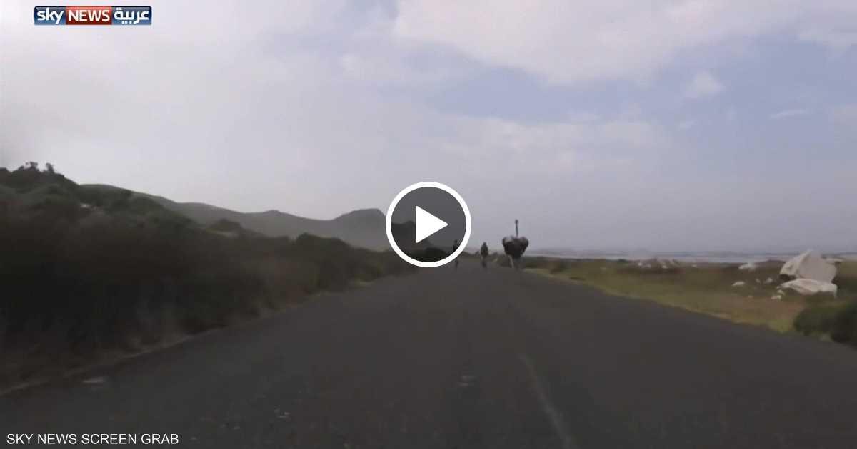 نعامة تسابق دراجات هوائية
