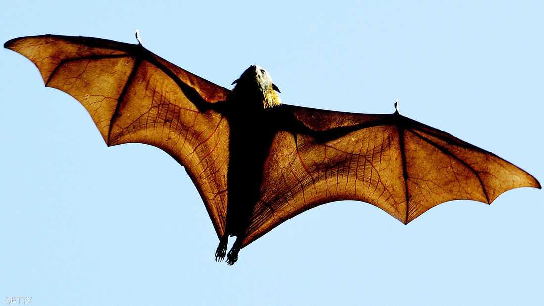 أكل الخفاش ساهم في نقل الفيروس