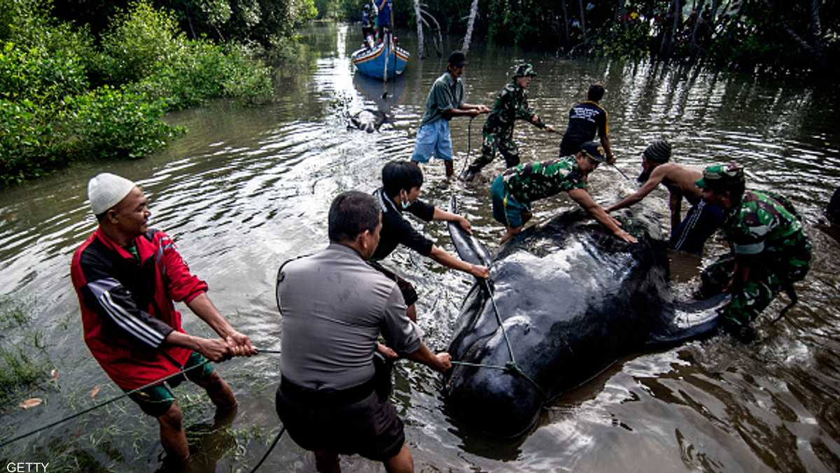 حيتان تجنح على أحد شواطئ إندونيسيا 1-850229.jpg