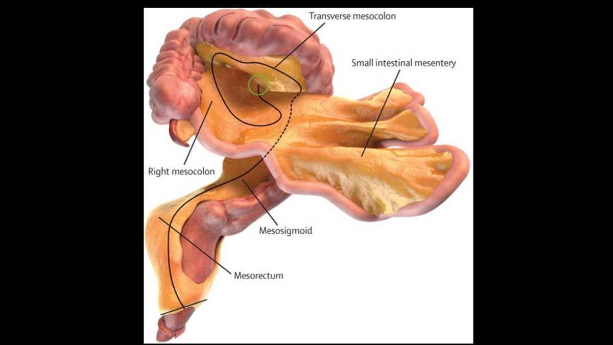 الأغشية المبطنة للأمعاء ثبت أنها عضو مستقل ومتصل