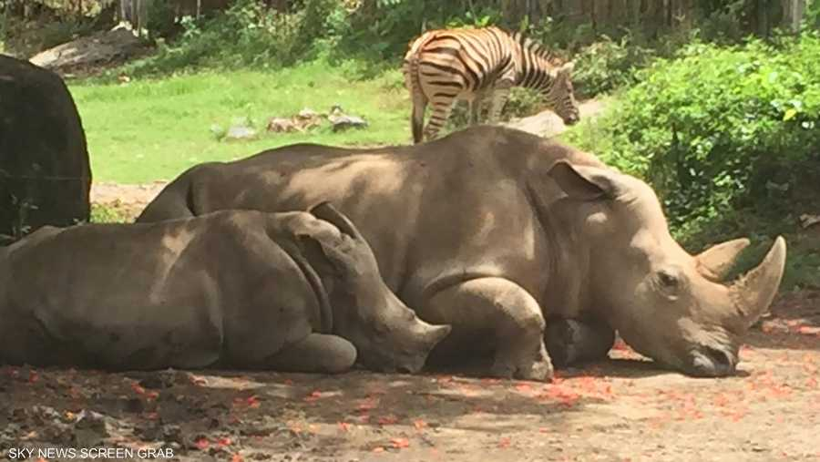 ويبدو أن النعاس غلب حيوانات وحيد القرن فاستسلمت له