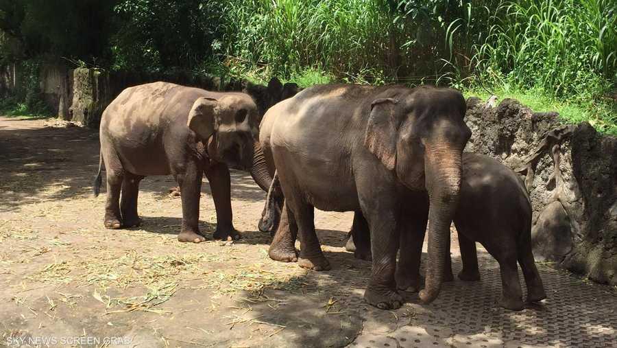 الأفيال لا تشعر بغربة كبيرة حيث تعتبر إندونيسيا إحدى مواطنها