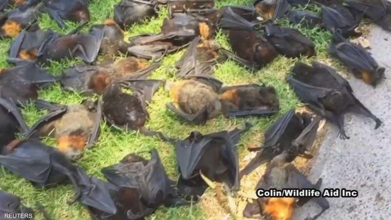 الحر يفتك بمئات الوطاويط