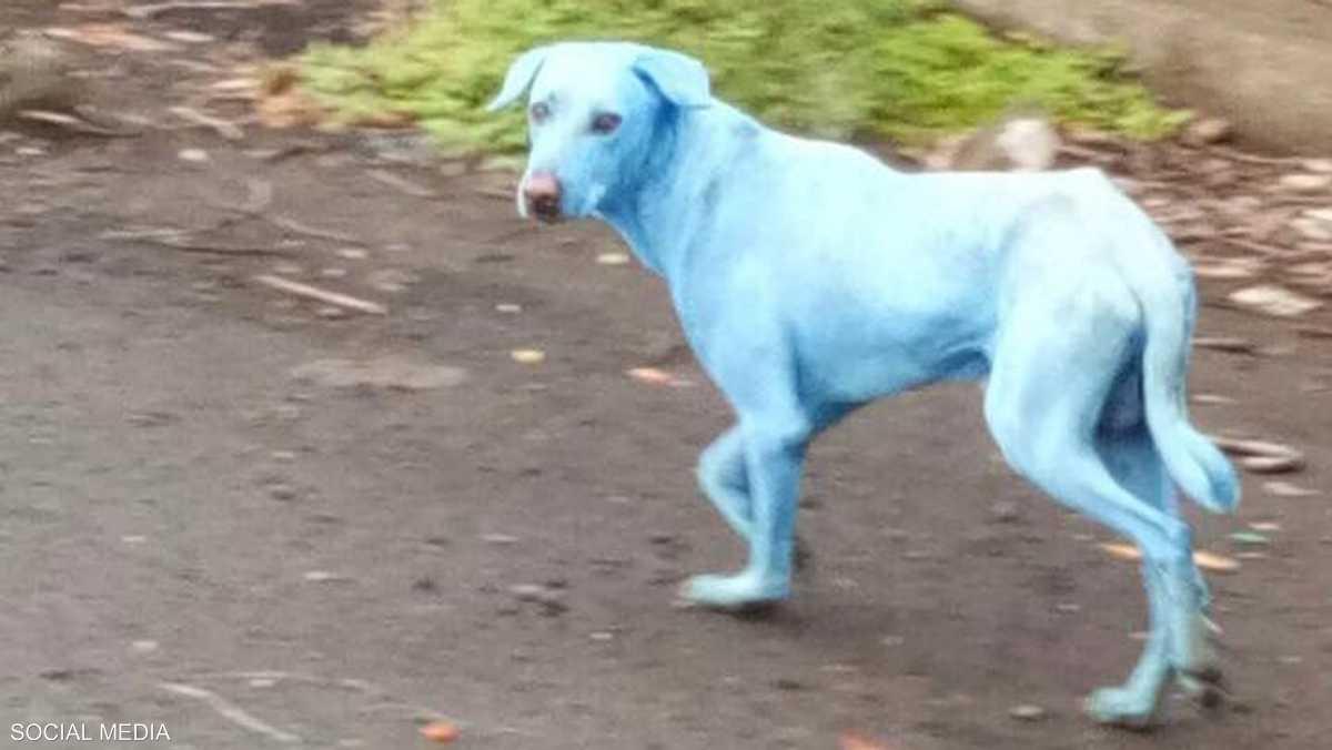 كلاب زرقاء تظهر الهند 1-974878.jpg