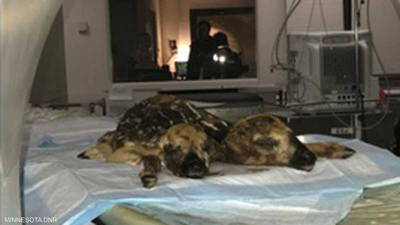 جثة الغزال خضعت لاختبارات معملية