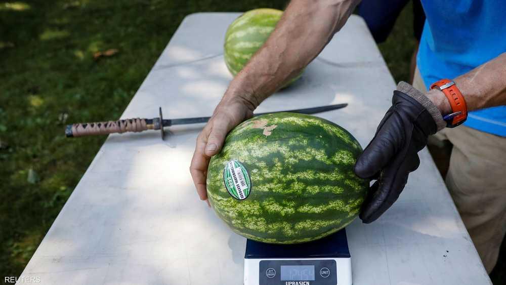 وزن كل بطيخة يتجاوز 10 كيلوغرامات