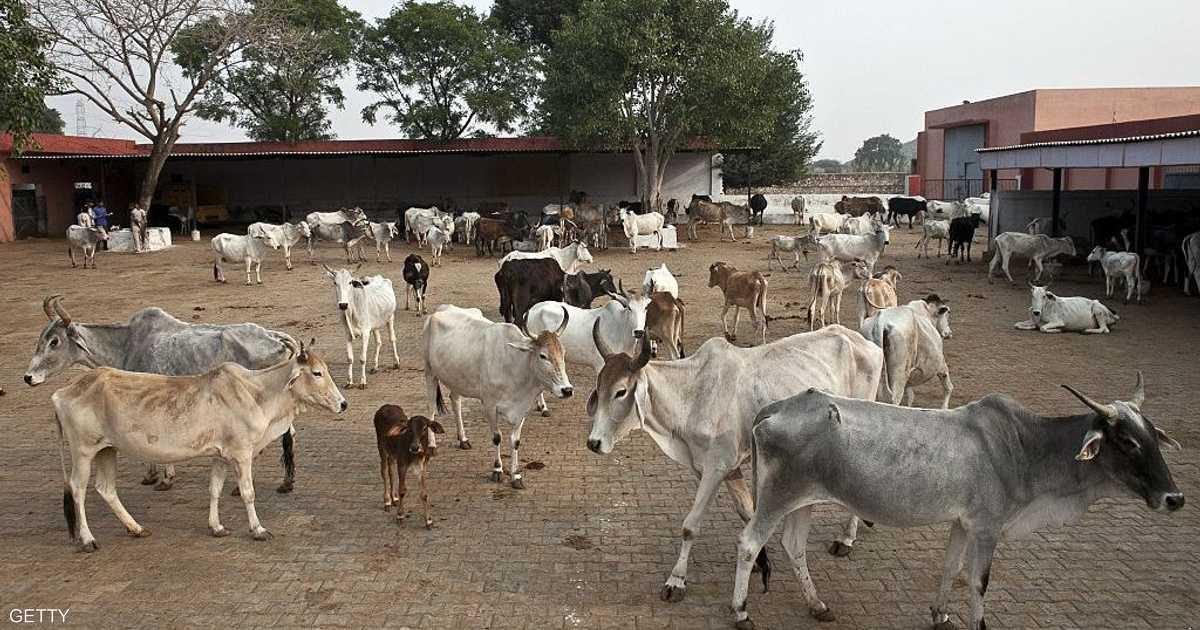 حقائق عن الهند، الأبقار في الهند