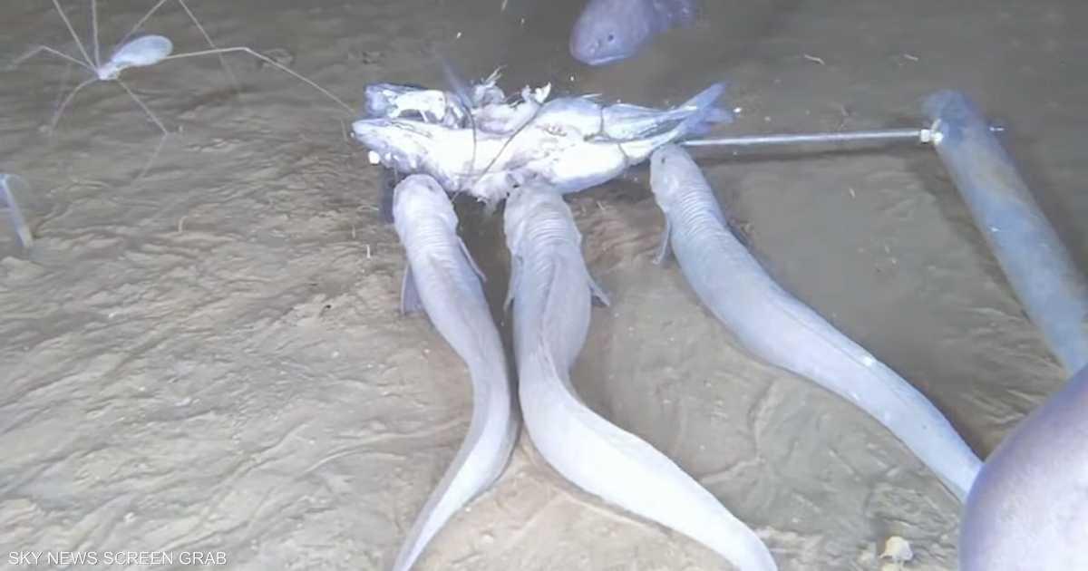 """السمك الشبح.. """"يذوب"""" إذا خرج من الماء"""