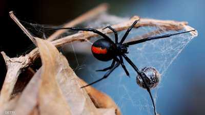 عنكبوت الأرملة السوداء يعرف بلونه الأسود المميز