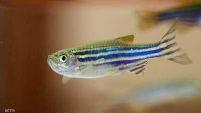زيت السمك يقلل مخاطر الأزمات القلبية