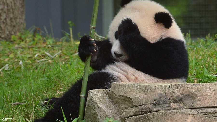 الصين حظرت التصوير مع الباندا
