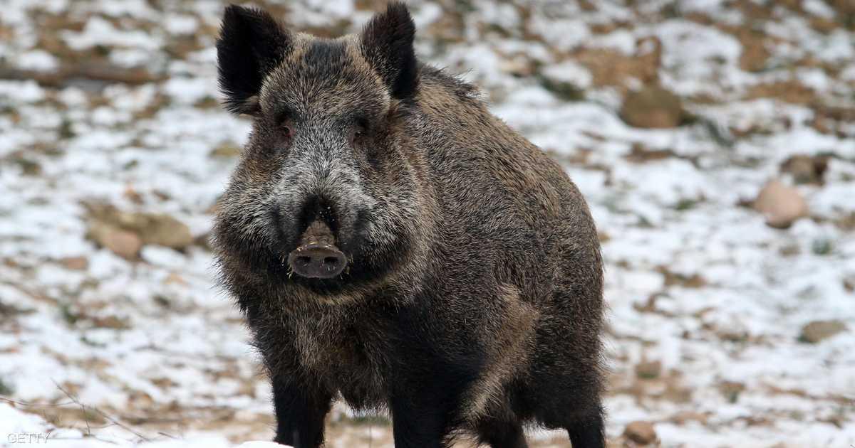 أوروبا تسمح لبولندا بقتل 200 ألف من ذكور الخنازير