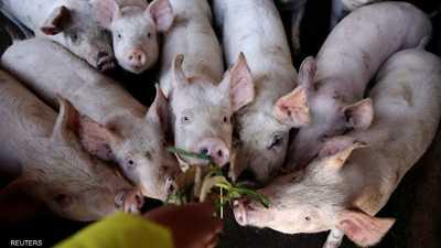 هلع في الصين من حمى الخنازير الإفريقية