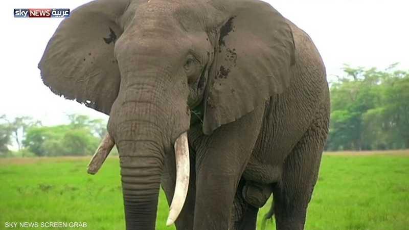 علماء يحلون لغز عدم إصابة الفيلة بالسرطان
