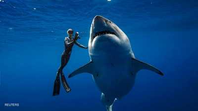 """أمضى غواصون شجعان """"دقائق مجنونة"""" مع أكبر سمكة قرش أبيض قبالة سواحل هاواي، حيث تعقبوها طوال اليوم والتقطوا معها عددا من الصور والفيديوهات. ويعتقد الخبراء أن هذه السمكة هي أكبر قرش أبيض في العالم."""