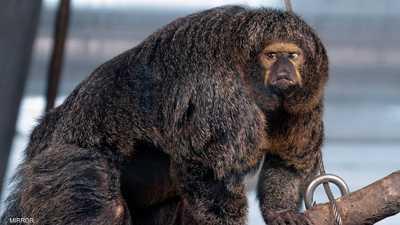 """القرد """"مفتول العضلات"""" يجتاح الإنترنت.. ويثير دهشة الجميع"""