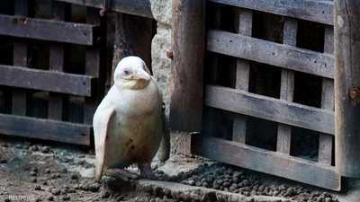 """أخيرا.. البطريق """"الأمهق"""" النادر يظهر إلى العلن"""