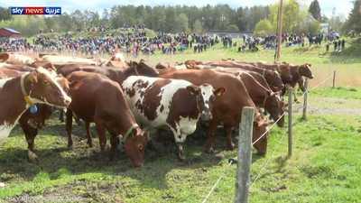 السويد.. احتفال الأبقار السعيدة