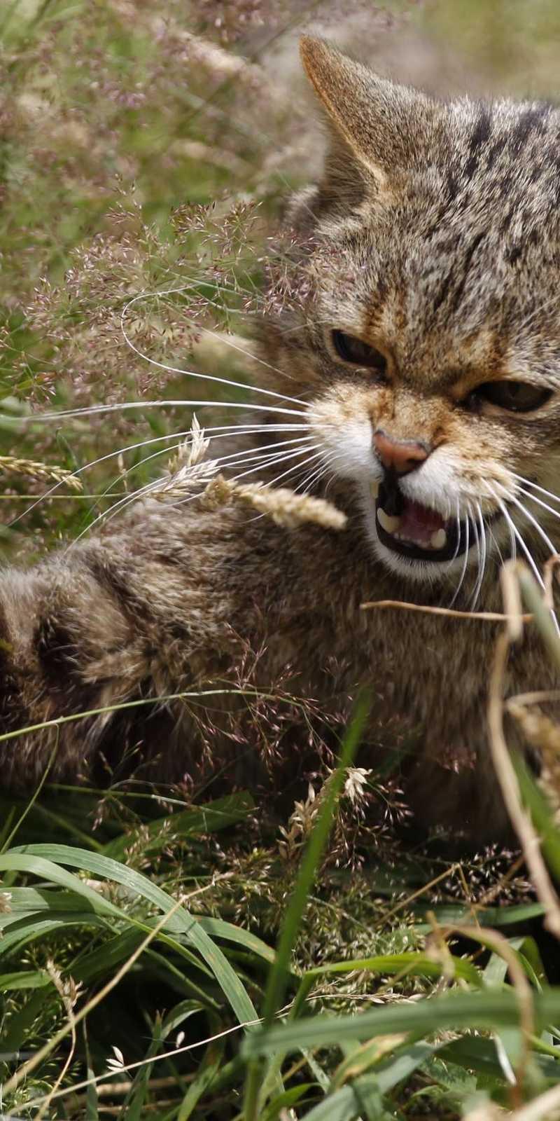 القط الإنجليزي الشرس يعود بعد 150 عاما من إعلان انقراضه أخبار سكاي نيوز عربية