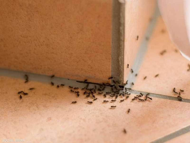 المزالق يلمع نفسي تكاثر النمل في المنزل Dsvdedommel Com