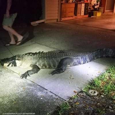 طول التمساح بلغ أكثر من 3 أمتار