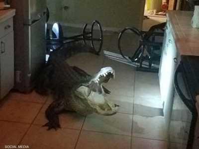 التمساح اقتحم المطبخ وهشم بعض الأشياء
