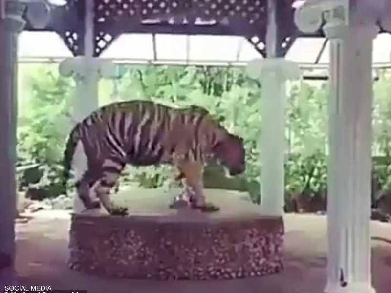 النمر معروض أمام السياح في حديقة تايلاندية
