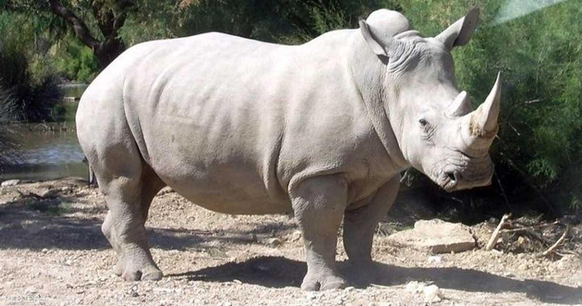 10 بويضات تبث الأمل لإنقاذ وحيد القرن الأبيض من الانقراض