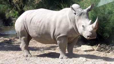 وحيد القرن الأبيض مهدد بالانقراض