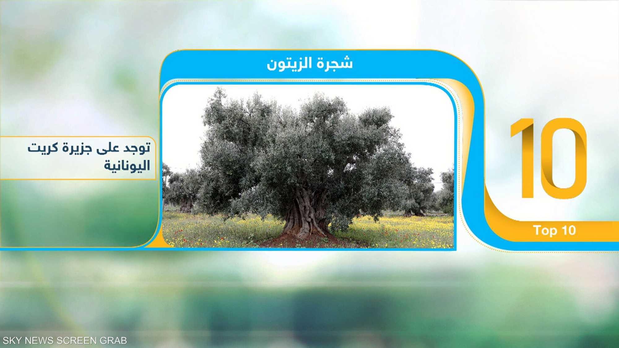 أقدم 10 أشجار على الأرض