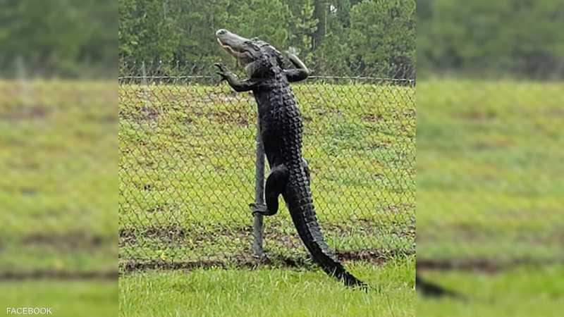لقطة ترصد التمساح المتسلق