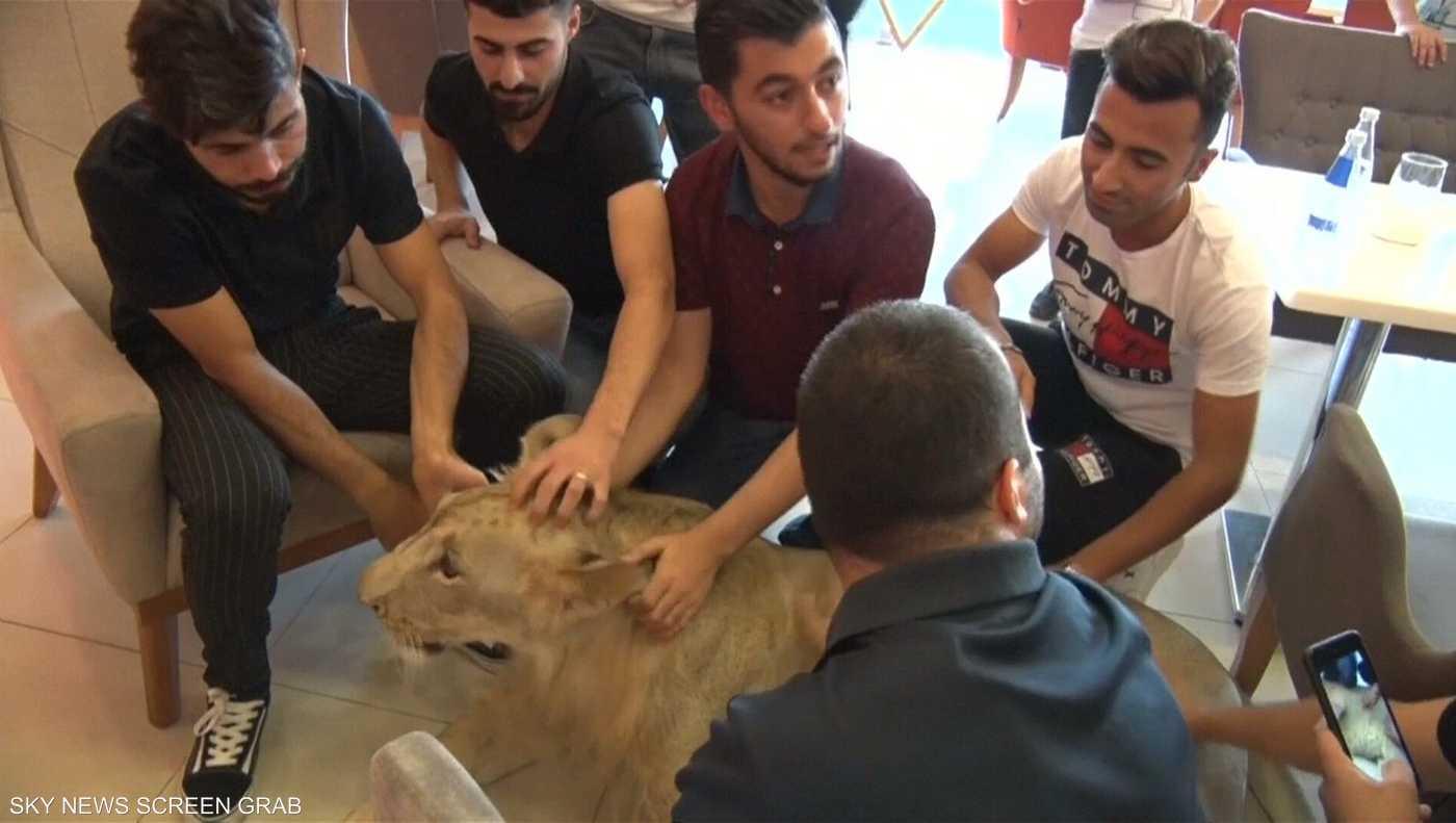 """Image result for أسد عراقي """"أليف"""" يجول شوارع دهوك ... ولا أحد يخشاه"""