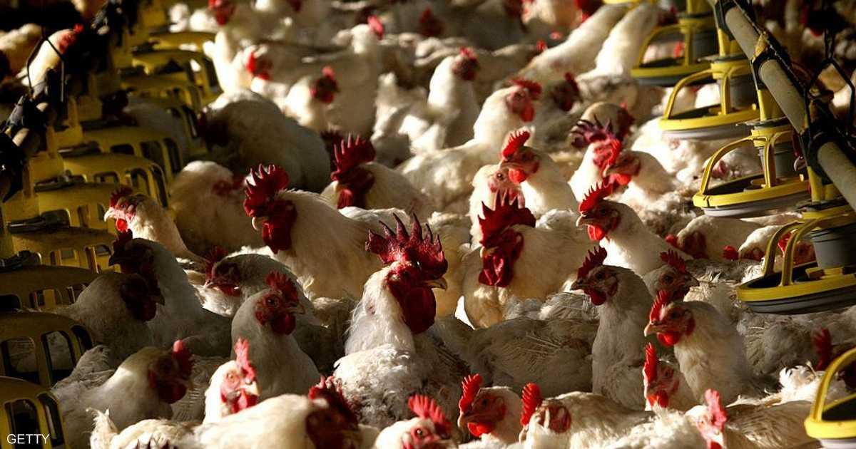 مصر تتحرك.. والهدف بيض 15 مليار دجاجة