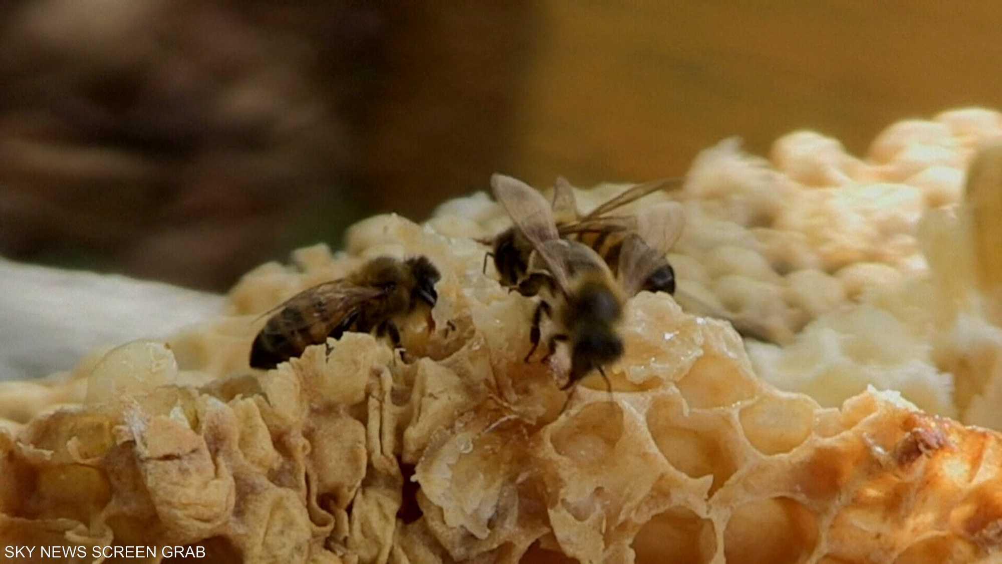 خبراء يعتمدون على النحل في الكشف عن المخدرات والألغام