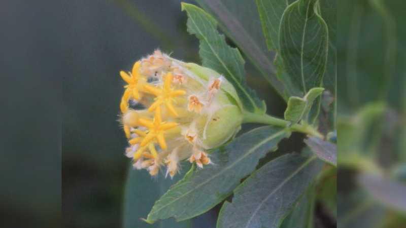 النبتة لم تكن معروفة في السابق للباحثين في شؤون التغذية.