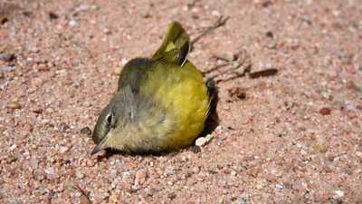 تقرير صادم: ثلثا طيور أميركا الشمالية مهدد بالانقراض