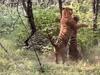 النمران شوهدا في غابة شمالي الهند