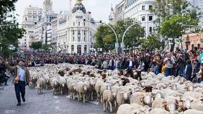 بالصور.. الأغنام تغزو مدريد