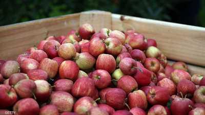 التفاح البريطاني لا يحد من يحصده بسبب نقص العمالة