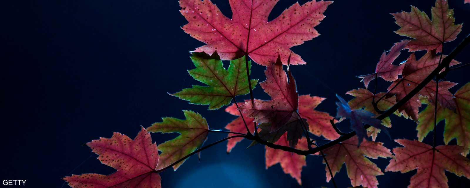 أوراق ملونة تتدلى من شجرة بحديقة في دورتموند غربي ألمانيا، إذ يزهر هذا النوع من الشجر في فصل الخريف.