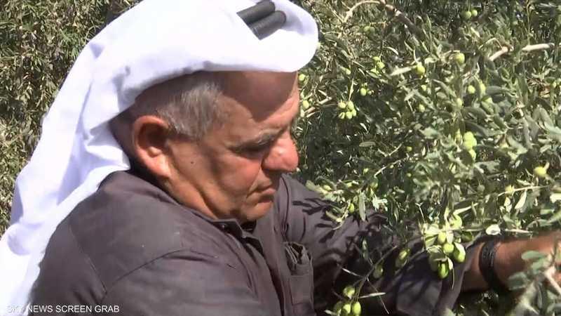 موسم قطاف وعصر الزيتون في فلسطين