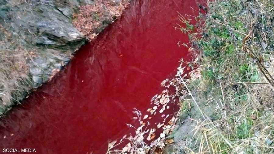 نهر أحمر بدماء الخنازير المذبوحة