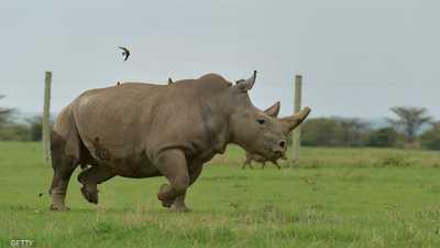 """نفوق """"سانا"""".. أقدم وحيد قرن أبيض في الأسر"""