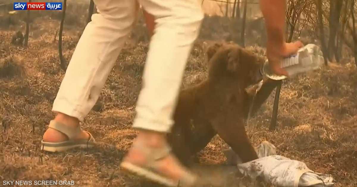 """""""البطلة"""" والكوالا.. فيديو لعملية إنقاذ مثيرة بغابة أسترالية"""