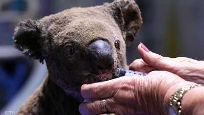"""حملة تبرعات لمساعدة """"الكوالا"""" تنجح في جمع مبلغ كبير"""