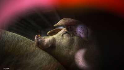 """الصين تعفي """"الخنزير الأميركي"""" من رفع الجمارك"""